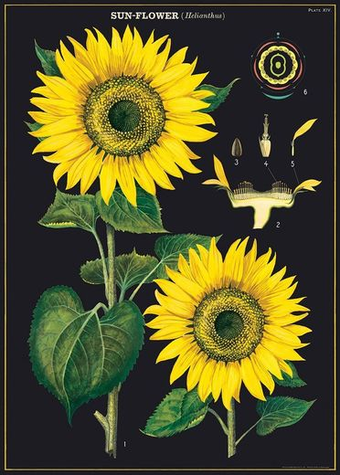 Juliste Cavallini - Sunflower 50*70